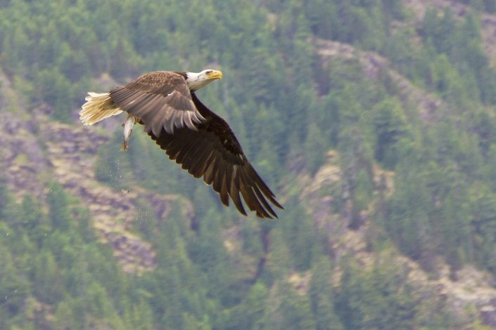 An eagle spreads its wings low as it rises into the air, with a fish in its talons sprinking water into the lake below. Strathcona Park, Vancouver Island