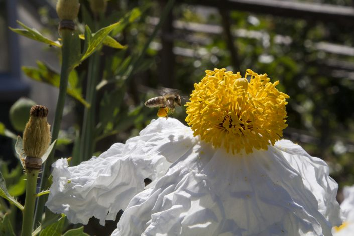 A bee covered in pollen sniffing a globe shaped yellow flower over a rumpled sheet of white petals